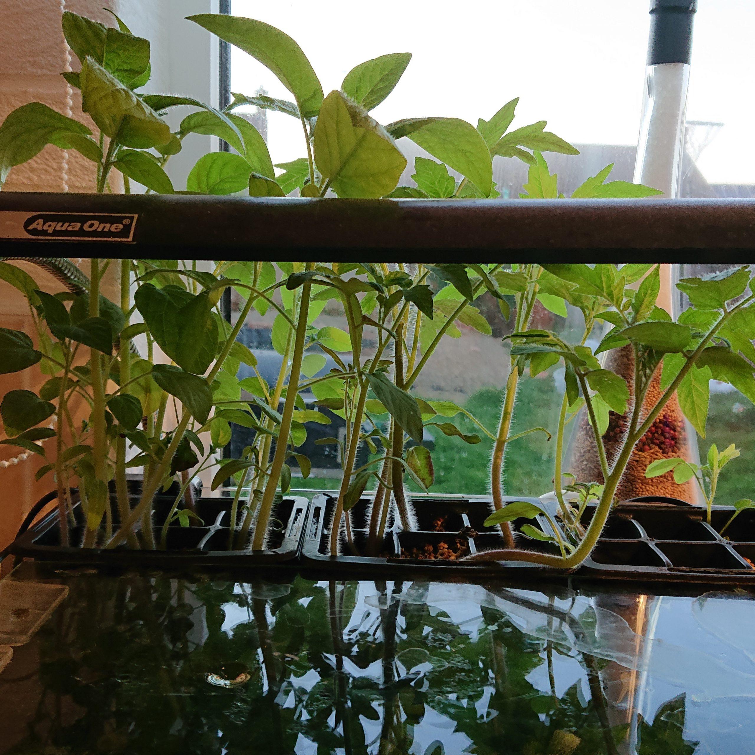 Aquarium Tomato Plant